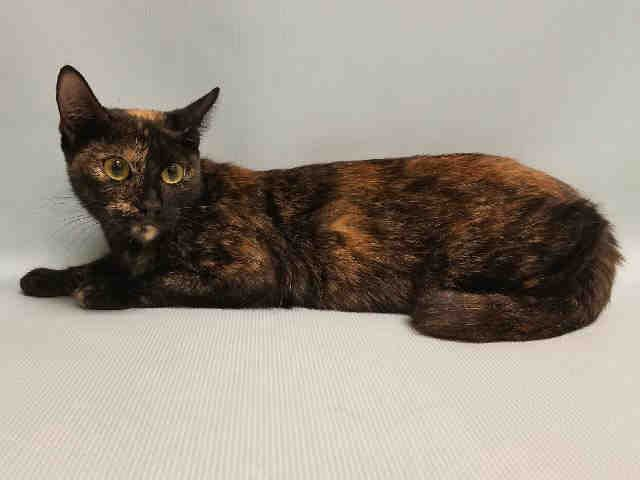 Esmerelda A1076094 Manhattan Please Share To Be Destroyed 06 09 2016 Esmerelda Must Be A Sweet Gypsy Girl She Trave Cats New York Animals Animal Rescue