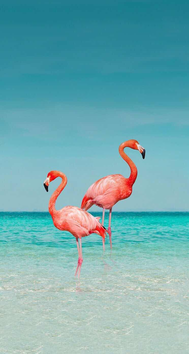 iPhone and Android Wallpapers Flamingo Wallpaper for