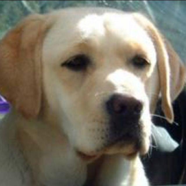 English Labs All The Way Love The Boxy Shaped Head Lab Dogs Labrador English Labrador