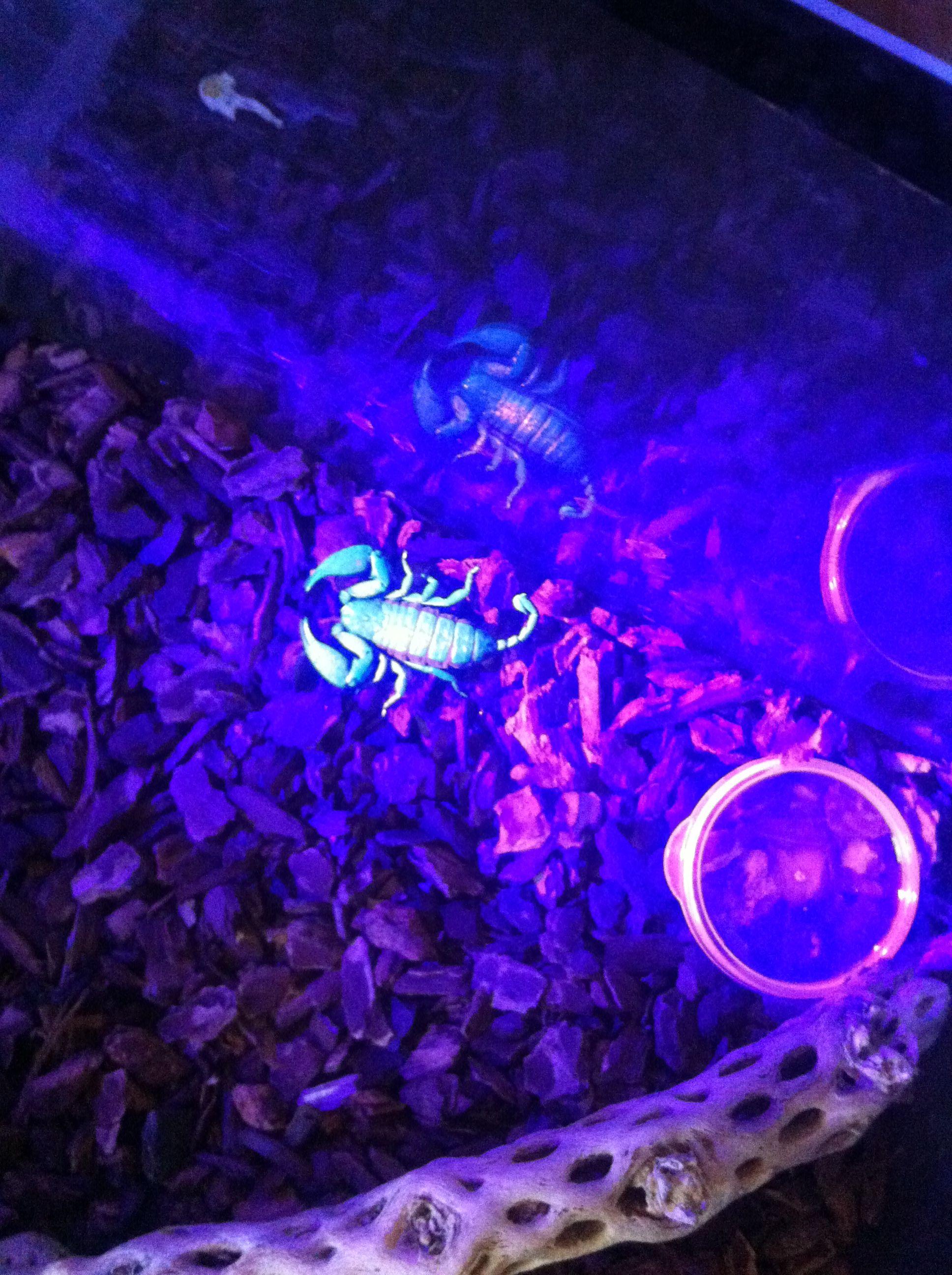 Animals, Concert, Scorpion
