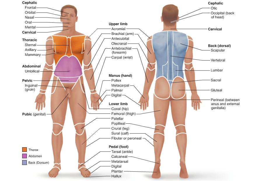 Surface Anatomy Terms | anatomy | Pinterest