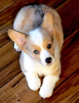 Corgi Puppies For Sale In California : corgi, puppies, california, Pembroke, Welsh, Corgi, Puppy, LINDA,, ADN-41240, PuppyFinder.com, Gender:, Male., Weeks, Puppies, Sale,, Corgi,