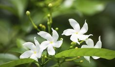 Jasmin Etoile Plante Grimpante Aux Fleurs Parfumees Conseils