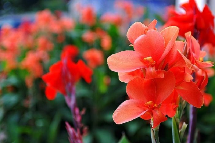 Flower Meanings Gladiolus Symbolize Strength Of Character