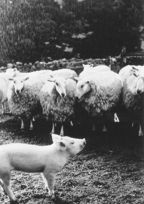 Babe the sheep-herding pig