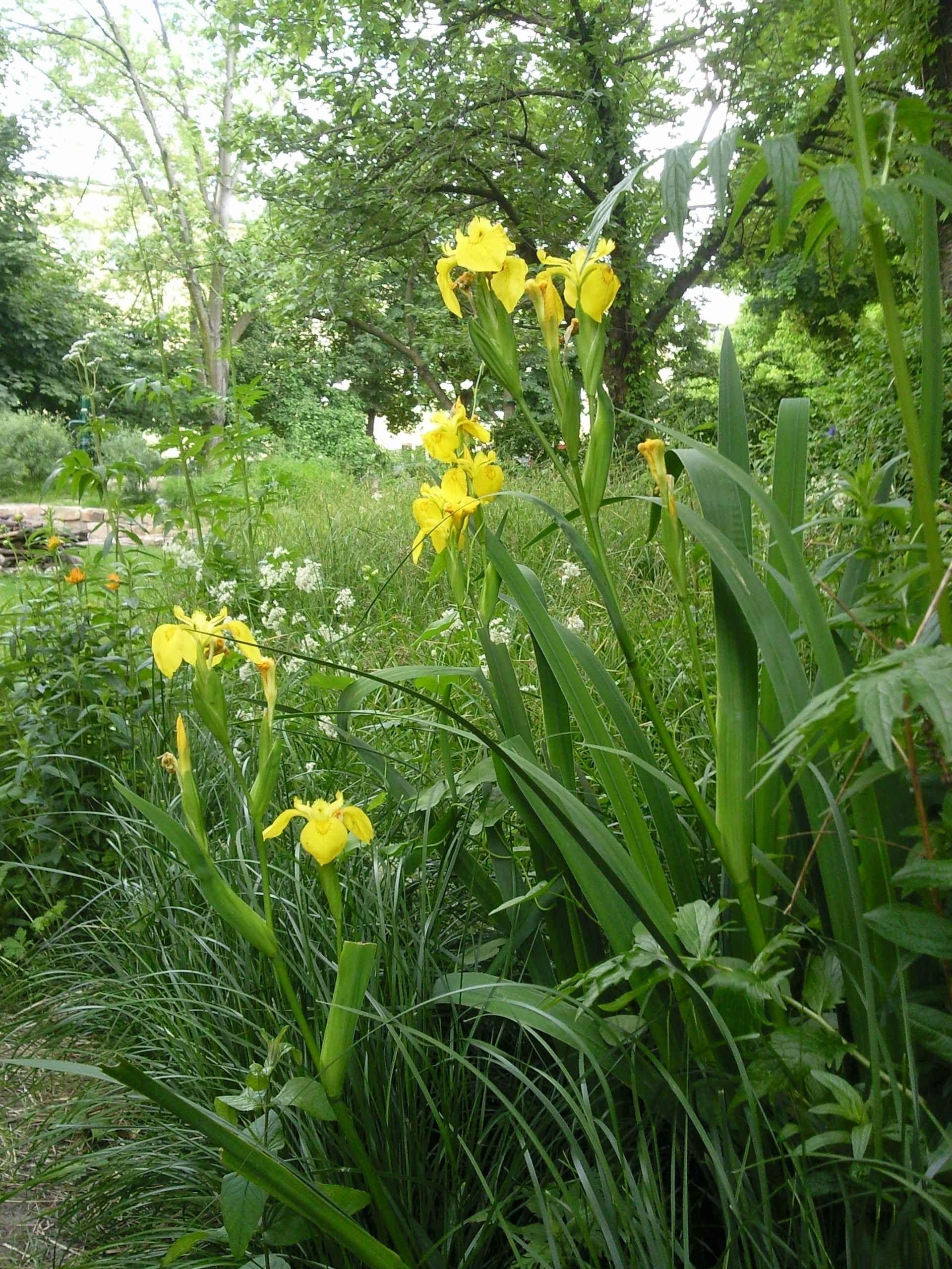 sumpf schwertlilie iris pseudacorus sonnig und nass pinterest schwertlilie iris und garten. Black Bedroom Furniture Sets. Home Design Ideas