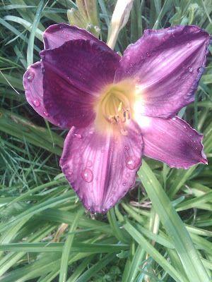 A favorite Daylily - Hemerocallis 'Strutter's Ball'