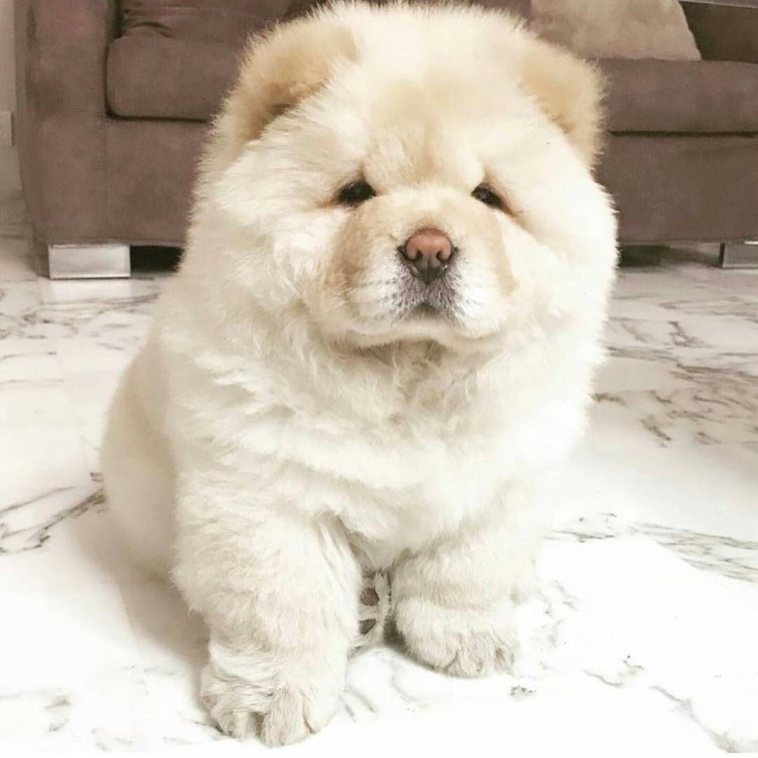7,876 Me gusta, 105 comentarios - Chow Chow Puppies