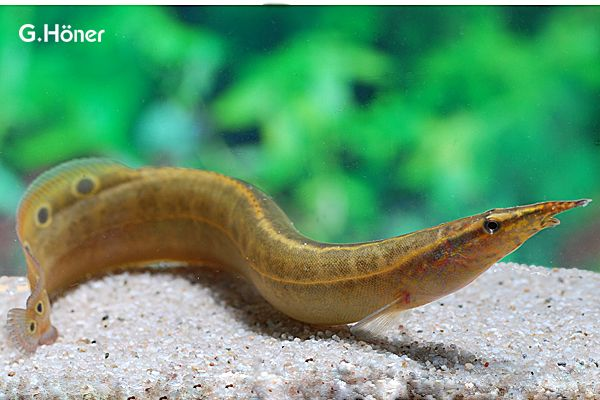 Pea Eel R Aquarium Fish