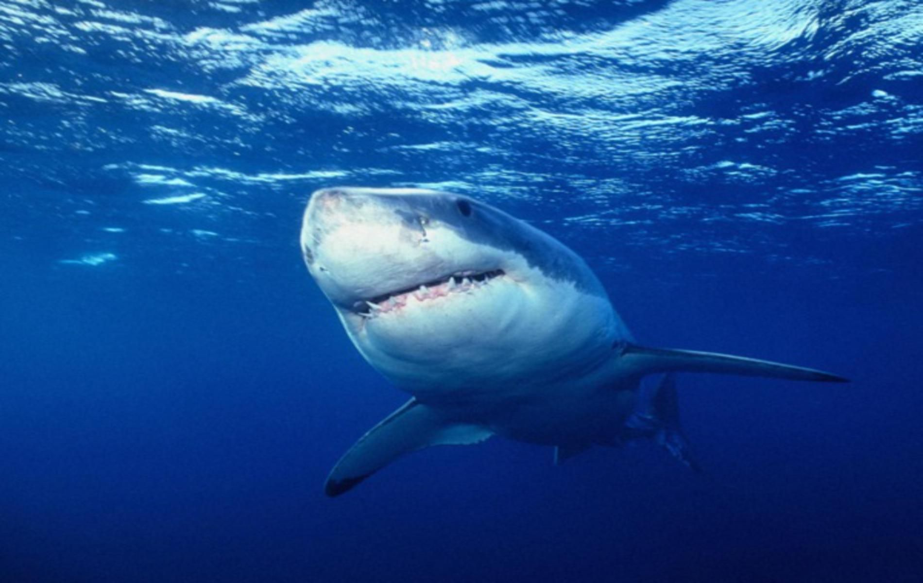 Great White Shark iPhone Wallpapers iphone wallpapers and