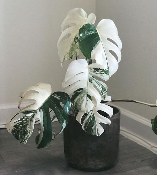 How to Care for a Monstera Deliciosa - That Planty
