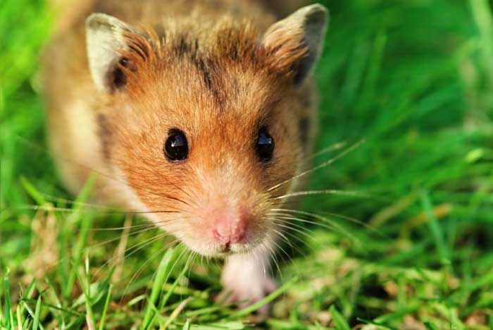 All About Syrian Teddy Bear Hamster Bear Hamster Hamsters As Pets Cute Hamsters