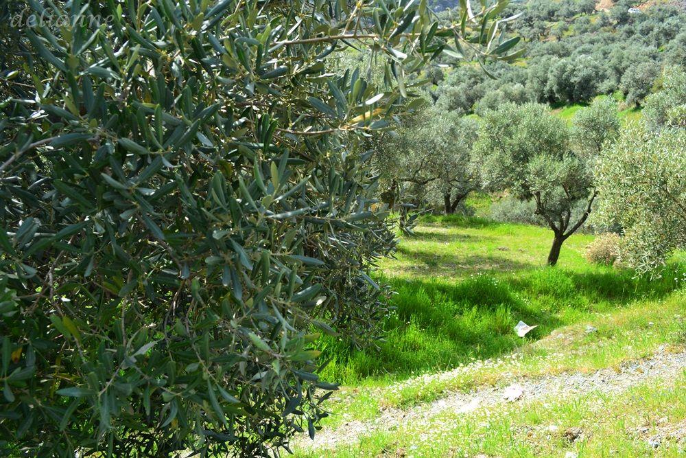 Olive Trees Olive tree, Tree, Plants