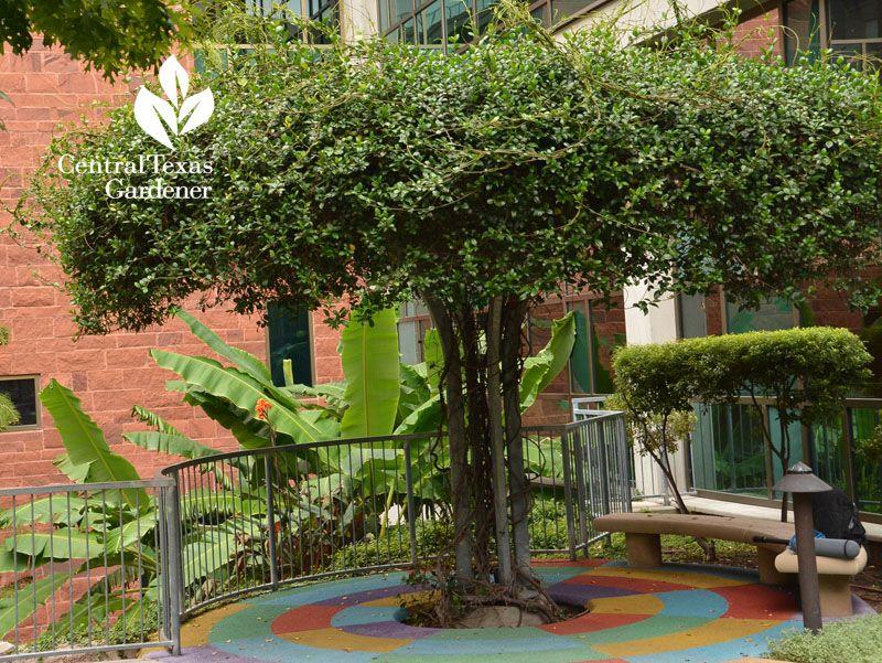 Star Jasmine Vine Trained Into Arbor Tree Dell Children S Central Texas Gardener Jasmine Tree Garden Calendar Garden