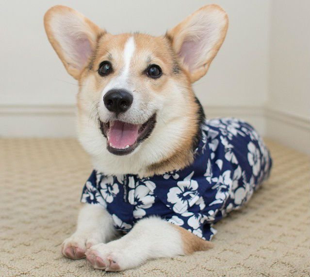 This Corgi Hopped On A Plane Bound For Mississippi And Landed