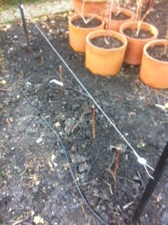 New Raspberries being planted at the Kitchen Garden http://www.harrodhorticultural.com/stephanies-kitchen-garden-diary-ctid4.html