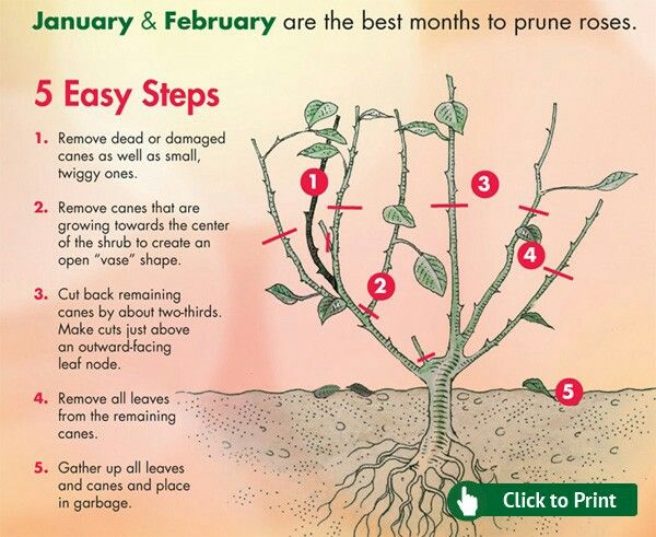 Are You Looking For Gardening Advice Read On Pruning Roses