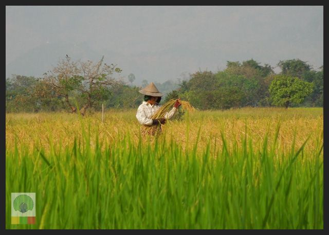 Vibrant green of the rice paddy fields