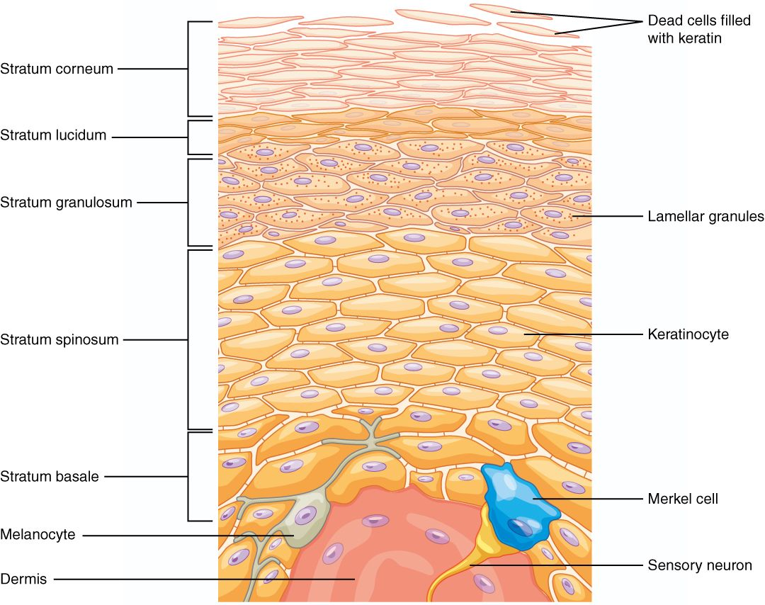 layers of skin - - Yahoo Image Search Results | Medicina | Pinterest ...