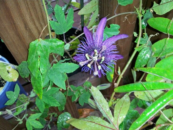 Passiflora Witchcraft With Images Passion Flower Passiflora Plants