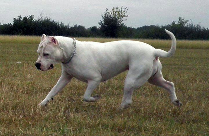 Dogo Argentino Dog Argentino Mastiff Breeds Hog Dog