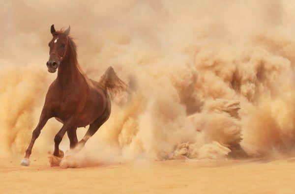 Dust Animal Horse Race Horse Wallpaper Horses Arabian Horse Brown horse wallpaper hd