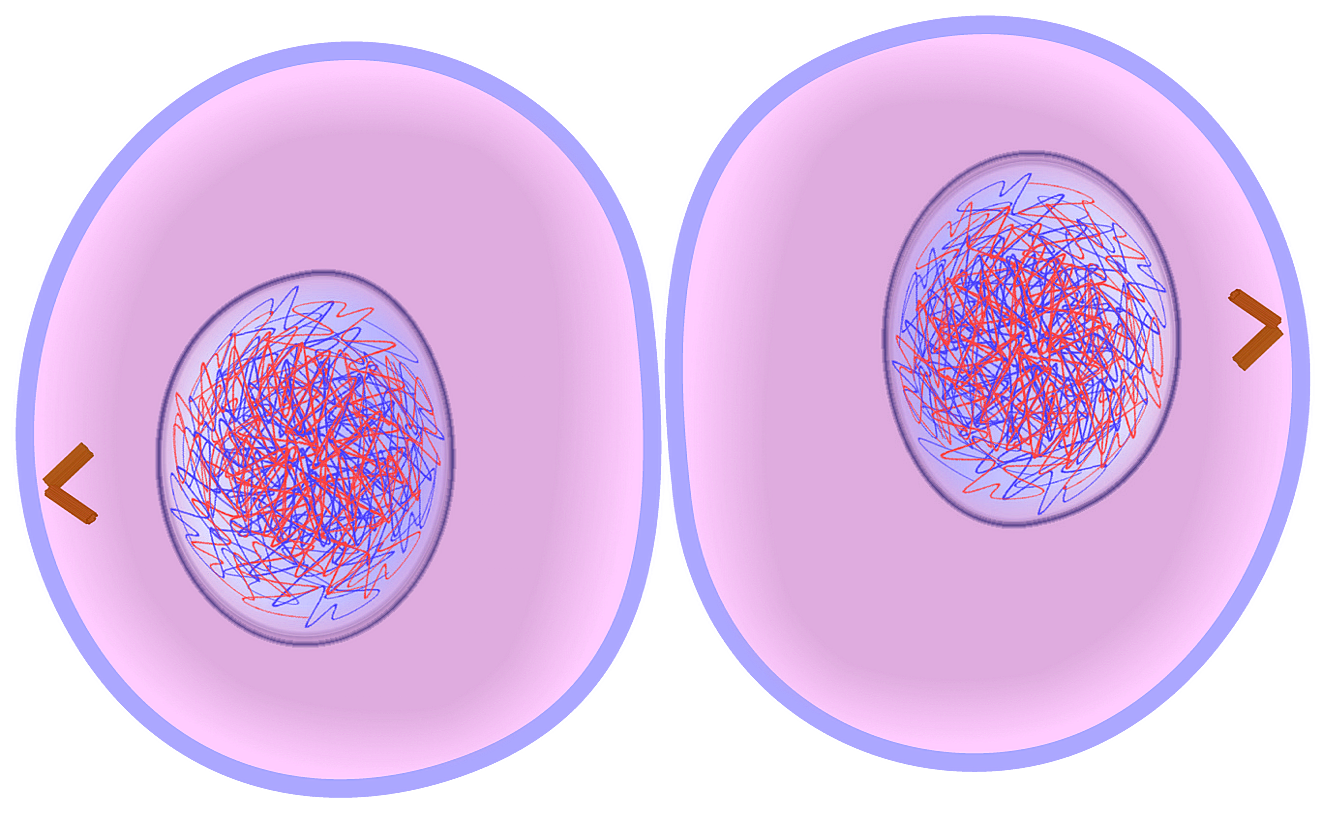 Cytokinesis the process that follows the last stage of mitosis cytokinesis the process that follows the last stage of mitosis with two complete copies pooptronica Gallery