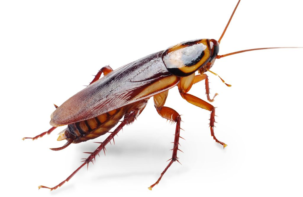 Get Rid Of Roaches Bugs Roach Bug Science And Nature