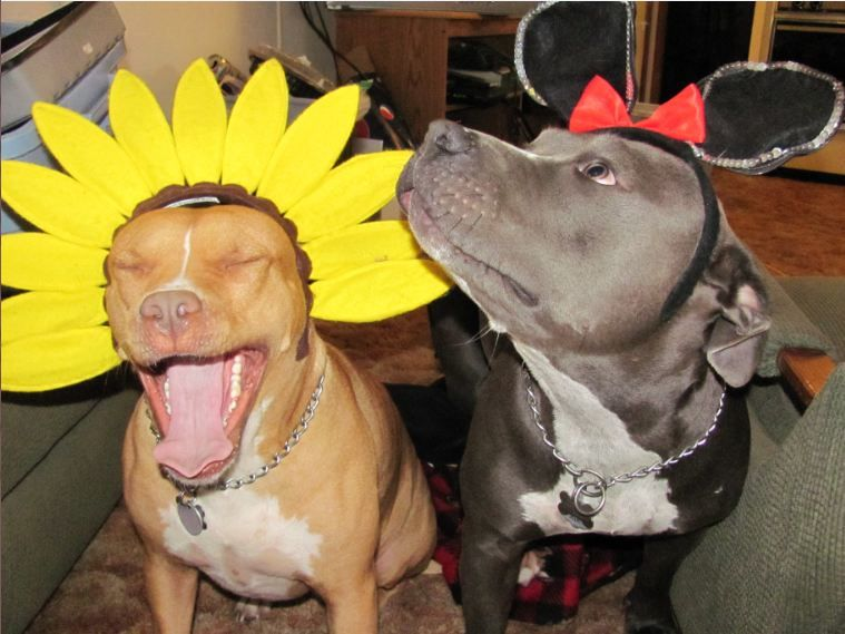 Pitbulls Being Excited Pit Bulls In Costumes Hy