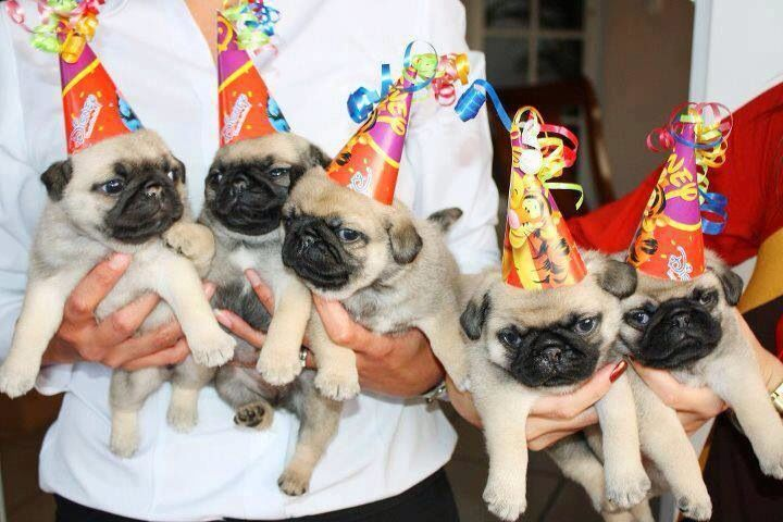 Pugs With Party Hats Pugs Wrinkly Dog Cute Dog Photos