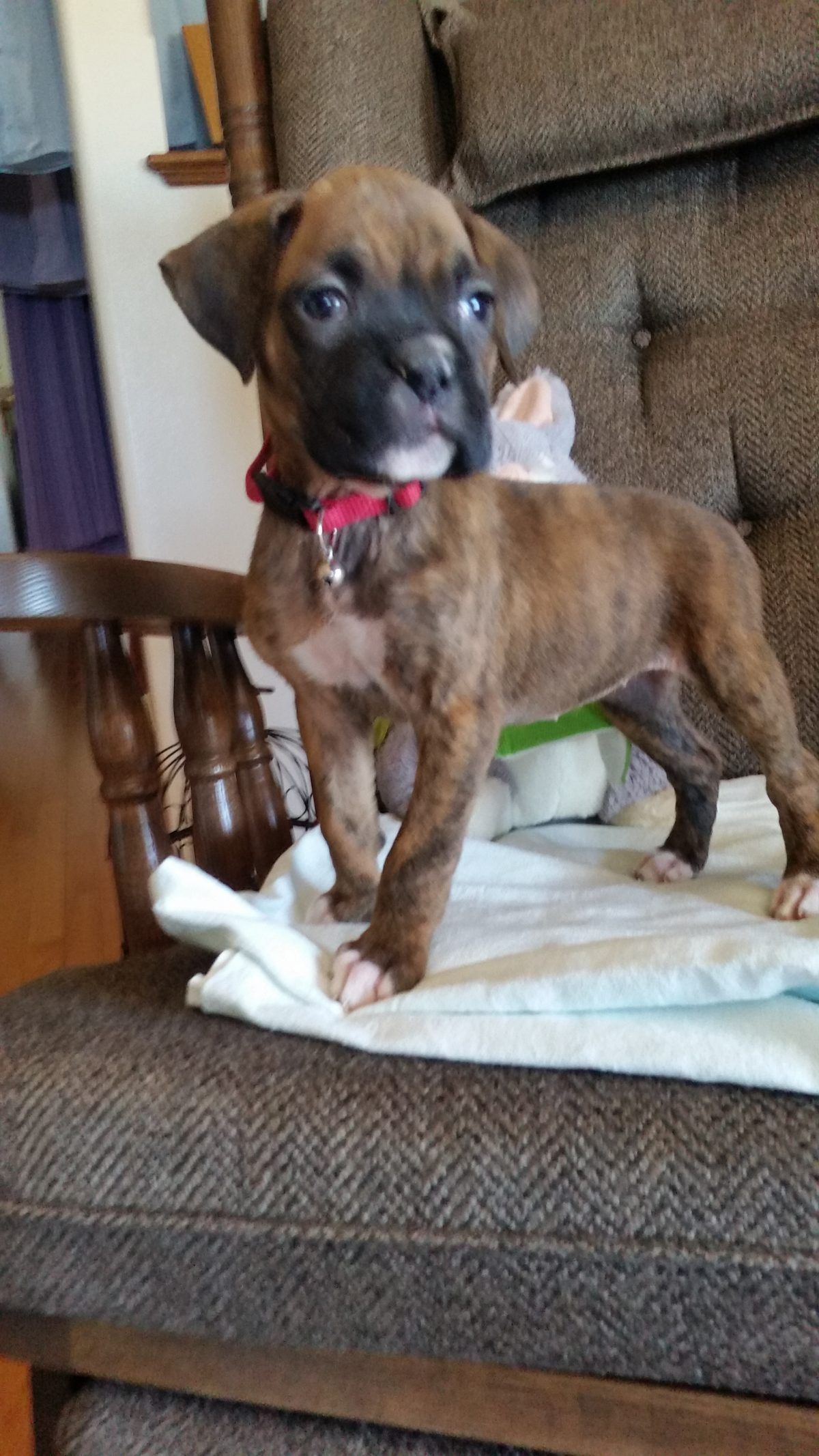 Arianna A Female Akc Boxer Puppy For Sale In Grabill Indiana