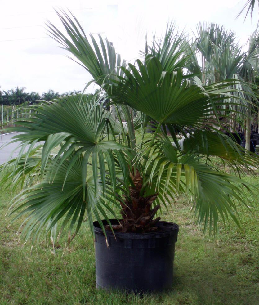 Chinese Fan Palm Livistona Chinensis Plants2you Com Chinese