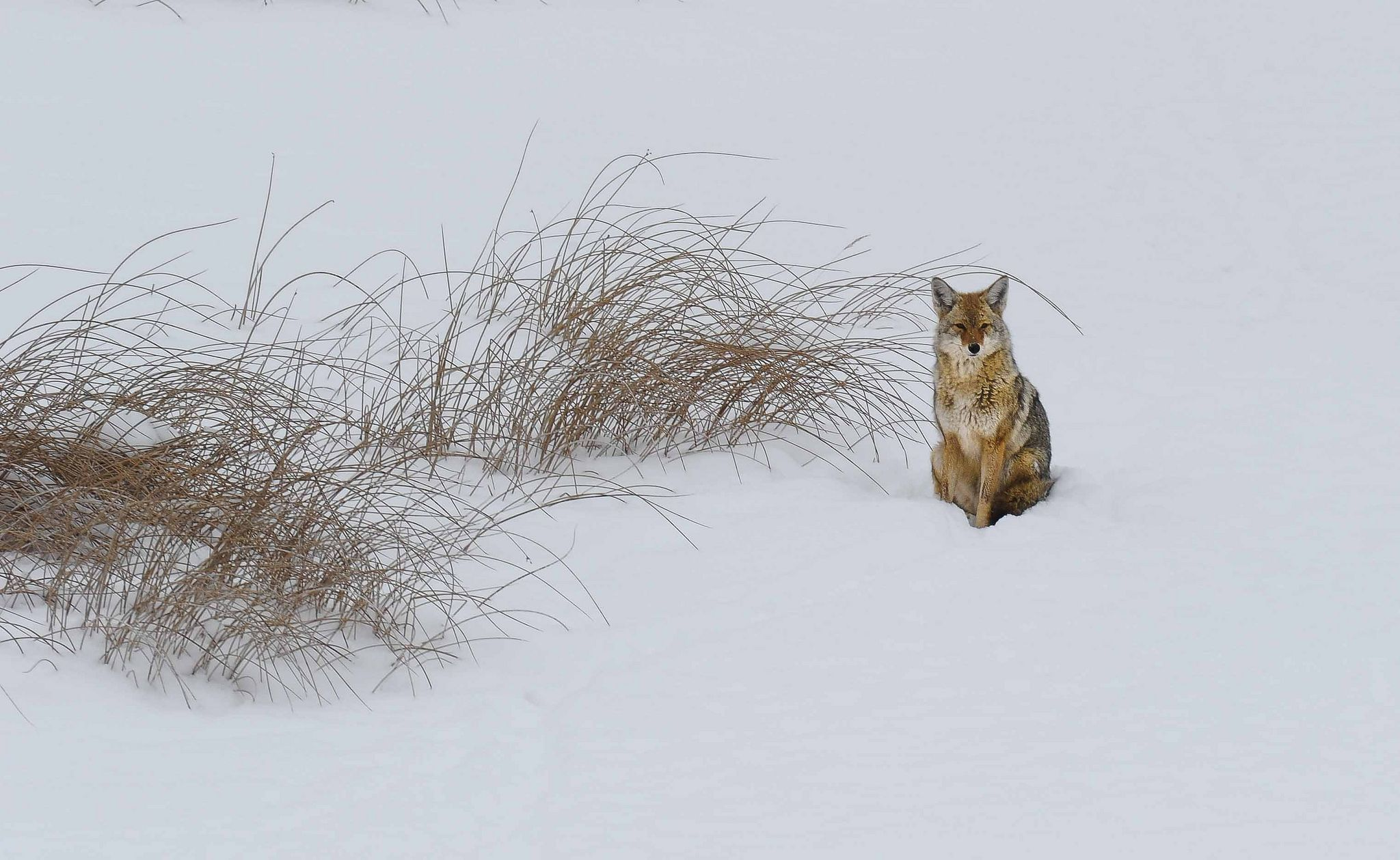 https://flic.kr/p/ejhSKP | CoyoteRushes | when there was still snow in Yellowstone Park...