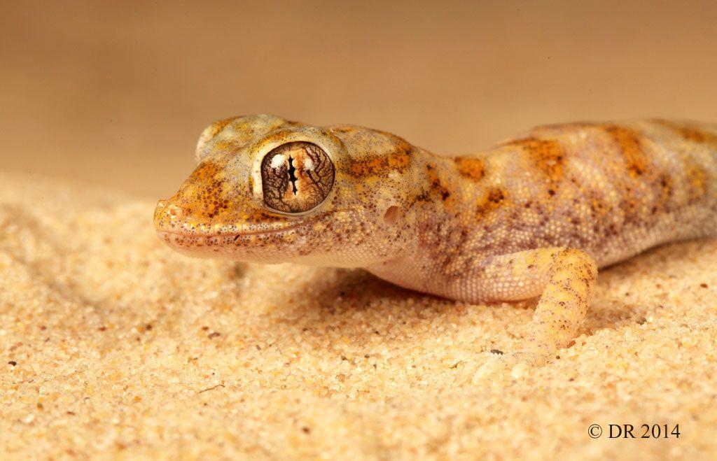 Barbosa_Eastern_Sand_Gecko_Stenodactylus_leptocosymbotes_4.jpg (1024×659)