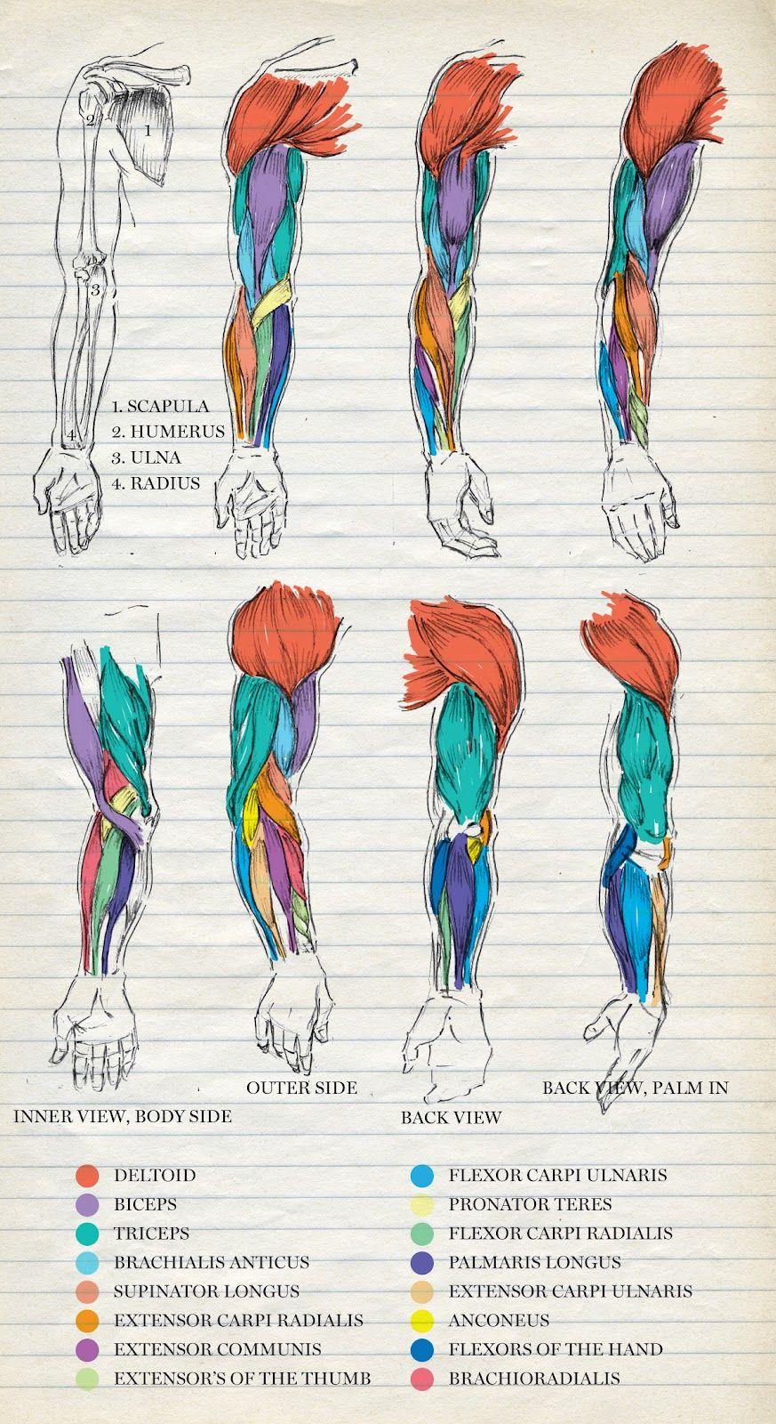 Musculos brazos | cuerpo humano | Pinterest | Anatomía, Medicina y ...
