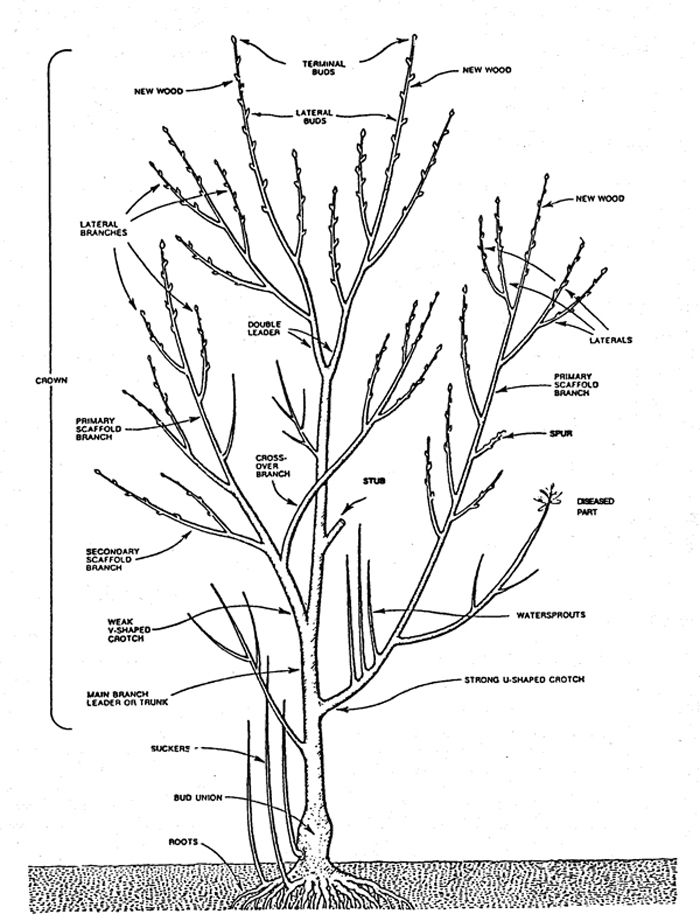 How To Prune An Apple Tree Diagram 91 Honda Civic Hatchback Stereo Wiring A Fig | Pruning Techniques Dirt Therapy Pinterest Pruning, ...
