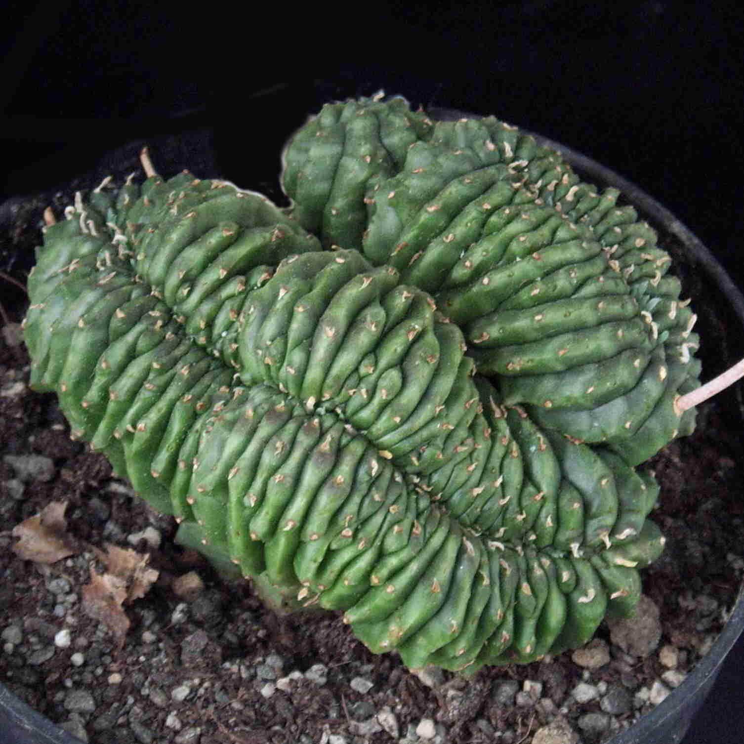 Euphorbia  valida cristata