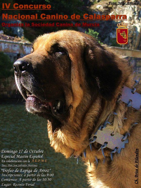 Spanish Mastiff In Spain Wearing A Carlanca Or Protective