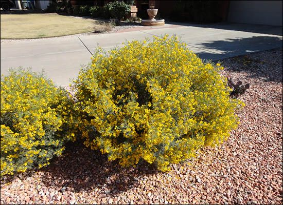 Feathery Cia For Arizona S Best Shrubs Moon Valley Nursery Phoenix