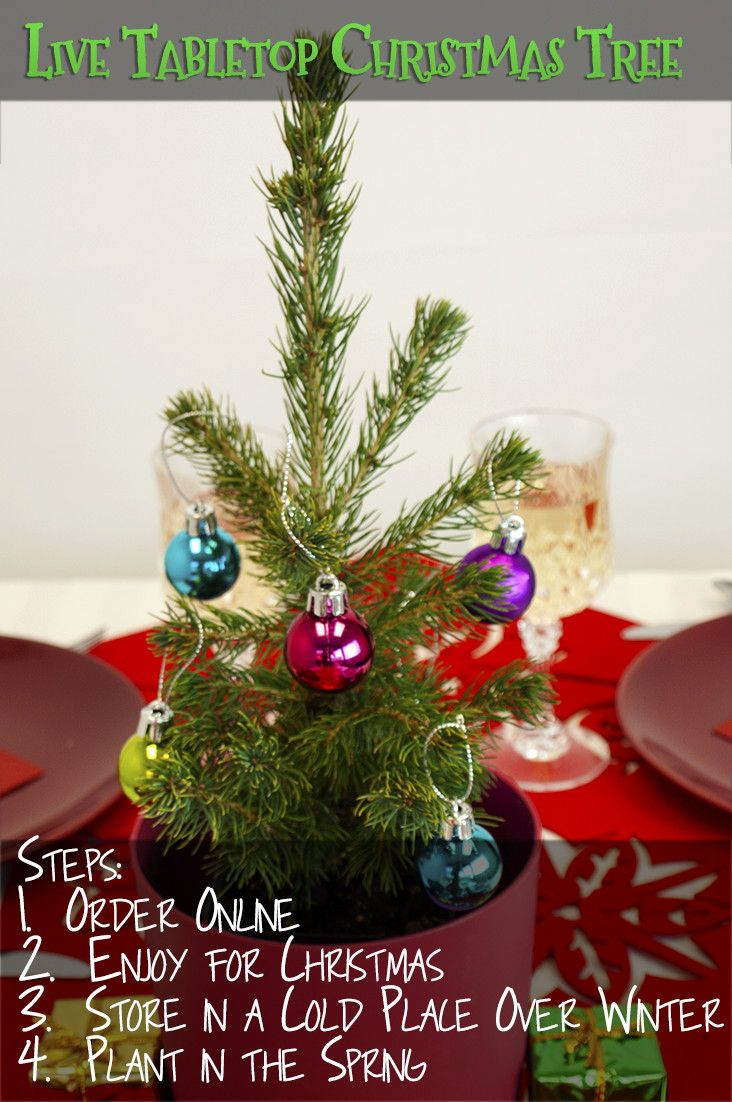get a live tabletop christmas tree for the holidays and plant the tree in the spring - Live Tabletop Christmas Trees