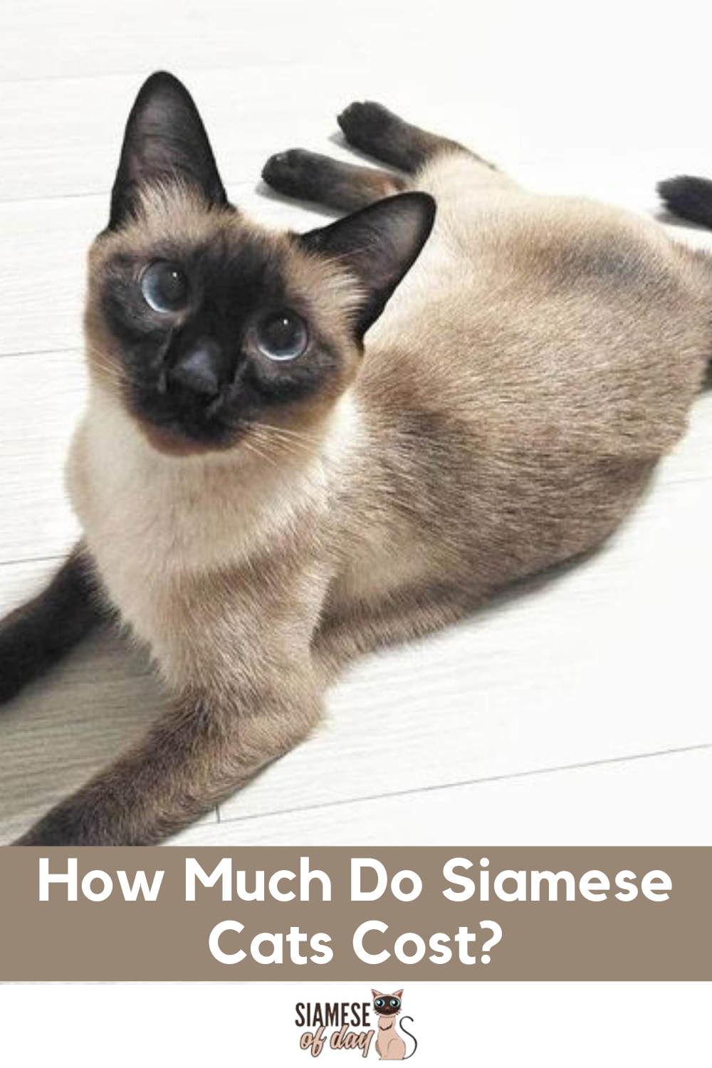 How Much Do Siamese Cats Cost Siamese Of Day In 2020 Siamese Cats Purebred Cats Siamese Kittens