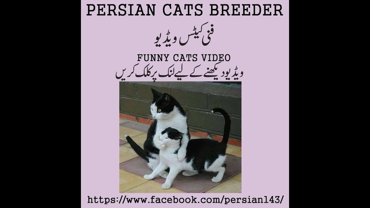 Funny Cats Video Persian Cat Breeders Funny Cat Videos Very Funny Gif