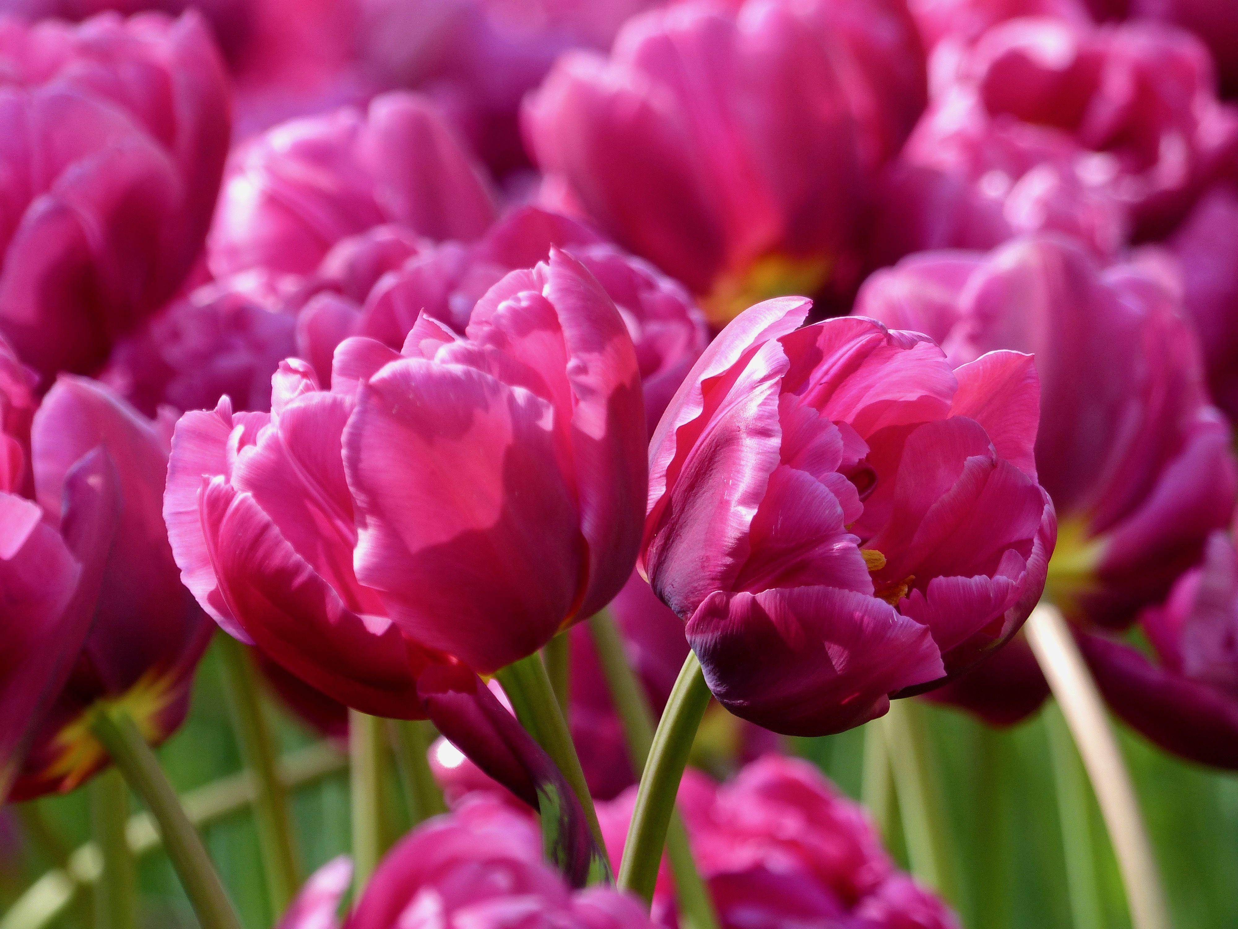 Tulpe Margarita Tulpen Fruhlingsgarten Tulpenzwiebeln