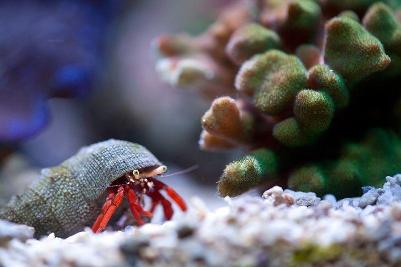 Scarlet Hermit Crab Saltwater Aquarium Aquarium Fish Reef Aquarium
