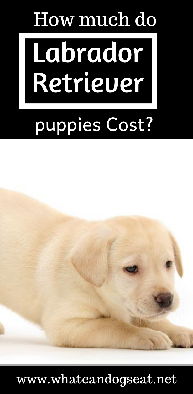 he average cost of a labrador retriever puppy from akc registered