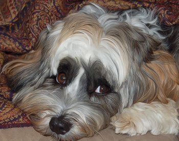 Phoebe The Tibetan Terrier All Grown Up Dog Breeds Pictures Terrier Dogs Terrier Dog Breeds