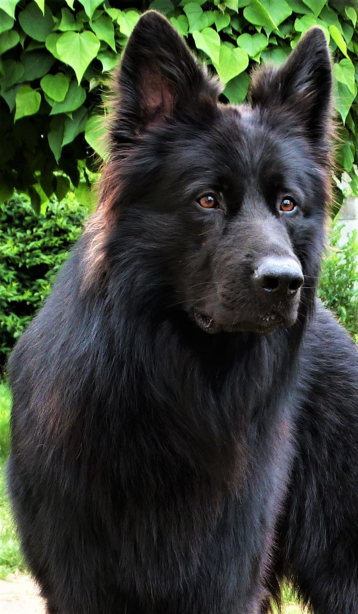Berger Allemand Ancien Type : berger, allemand, ancien, 22384845_1736771966355258_1046272654_n, Berger, Allemand, Long,, Animaux, Sauvages,