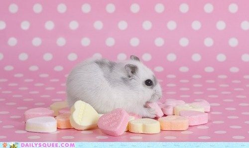 Now I know what to do with those tooth-breaker candy hearts I get every Valentine's Day...let this dwarf hamster nom them up. (via Bunny Food)