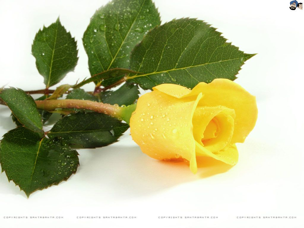 Pin by ha nane on beautiful flower yellow roses rose - Flower wallpaper 7d ...