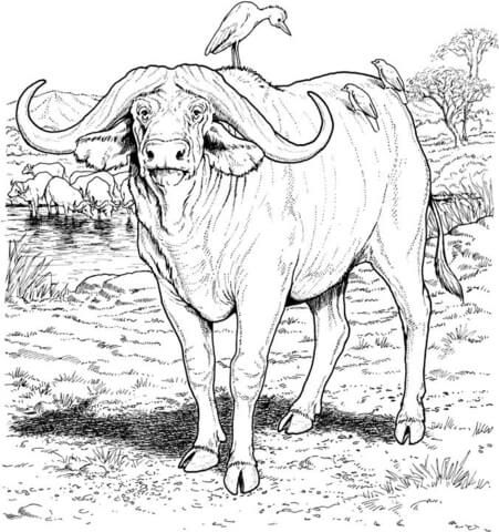 African Buffalo Coloring Page African Buffalo Animal Coloring